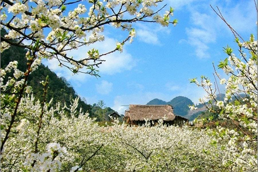 Hoa Mai nở trắng vào dịp đầu năm mới tại Hà Giang