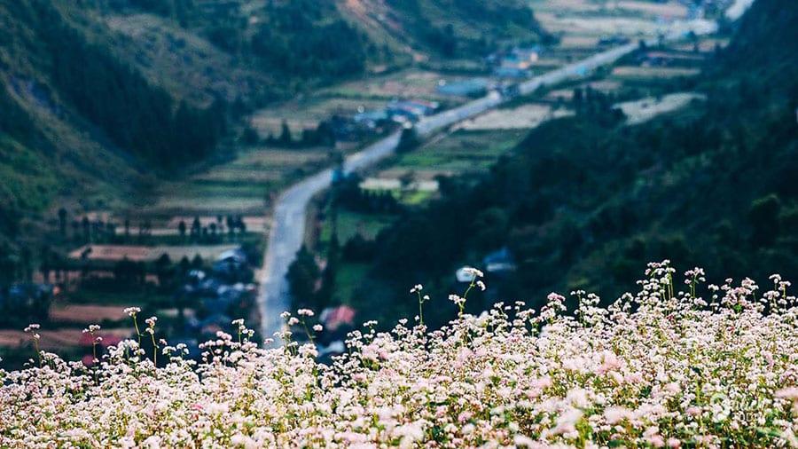 Hoa tam giác mạch ở Sủng Là - Hà Giang