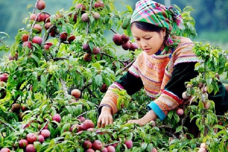 Mận đỏ Hà Giang vào mùa thu hoạch