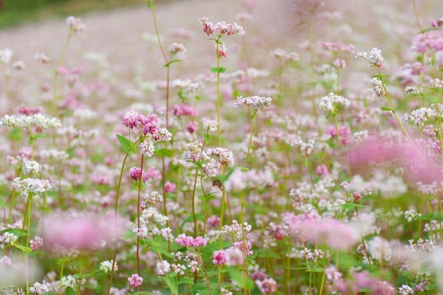 Mùa hoa tam giác mạch lạ về trên cao nguyên đá Hà Giang