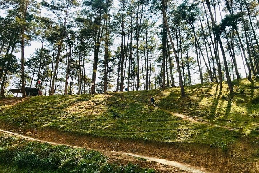 Khu rừng thông Yên Minh tại Hà Giang