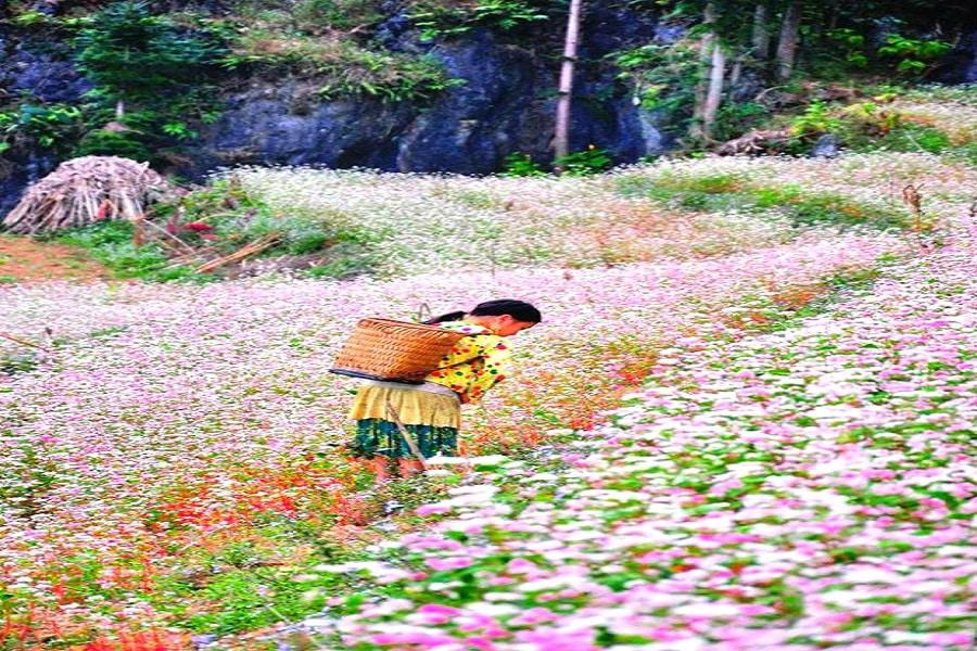 Mùa Đông ngập chàn sắc hồng của Hoa Tam Giác Mạch