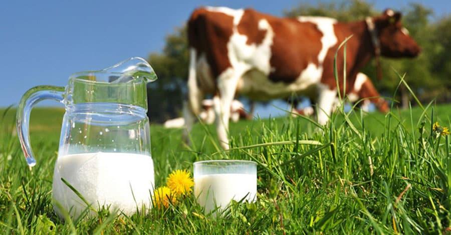Ba Vì - mảnh đất thích hợp cho sự phát triển của bò sữa