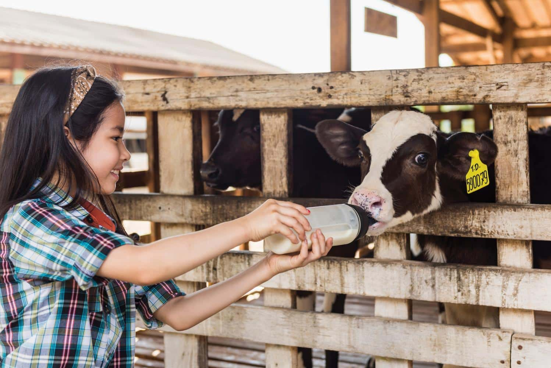 Du khách tham quan tại trang trại bò sữa Ba Vì