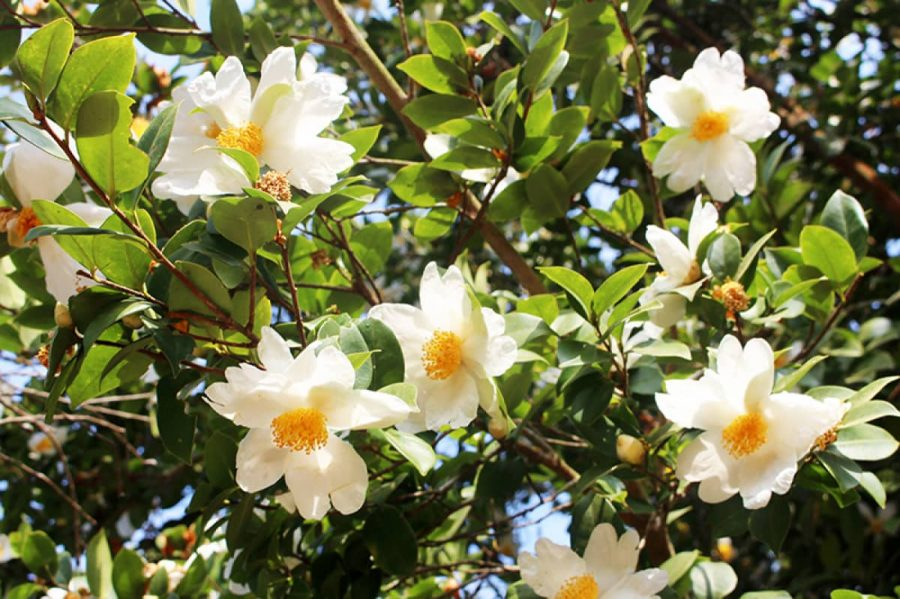 Hoa sở trắng tinh khôi e ấp