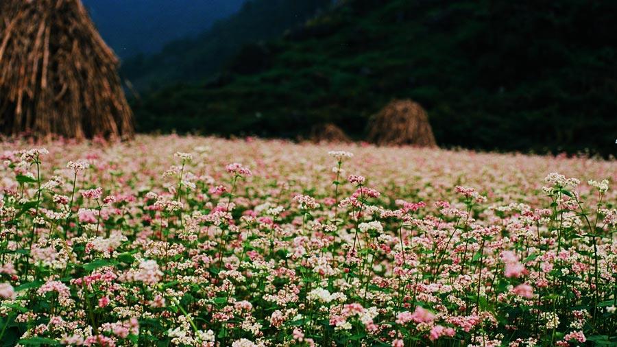 Du lịch Hà Giang ngắm đồi hoa tam giác mạch tuyệt đẹp