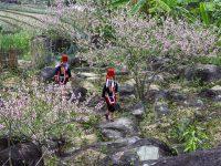 Bình Liêu vào xuân với sắc hoa ngập tràn