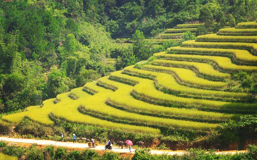 Những thửa ruộng bậc thang vàng óng tạo nên bức tranh tuyệt mỹ ở Bình Liêu
