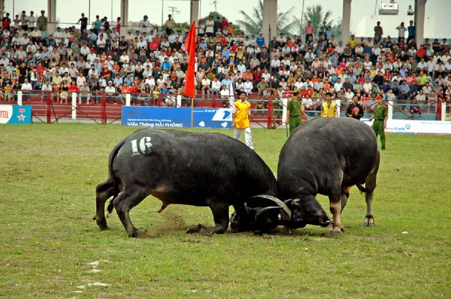Hòa chung không khí lễ hội trâu bò tại Đồ Sơn vào lịch tháng 8