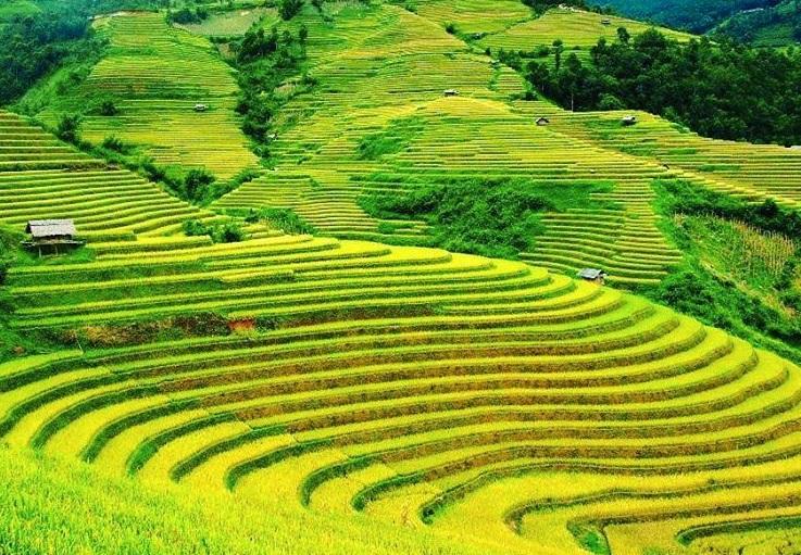 Ruộng bậc thang mùa lúa chín Bình Liêu