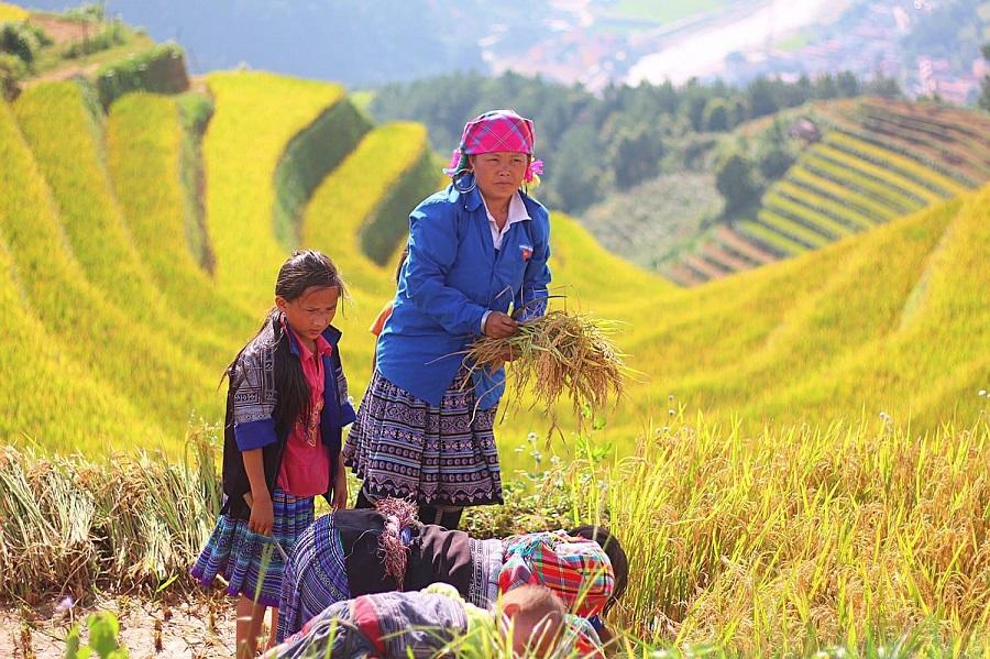 Thiên nhiên thơ mộng đèo Khau Phạ mùa lúa chín