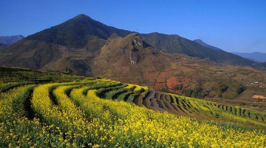 Mù Cang Chải không chỉ có một mùa vàng của lúa mà còn có thêm một mùa vàng nữa của hoa cải dầu