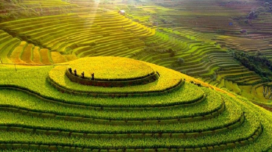 Ruộng bậc thang Mù Cang Chải mùa thu hoạch