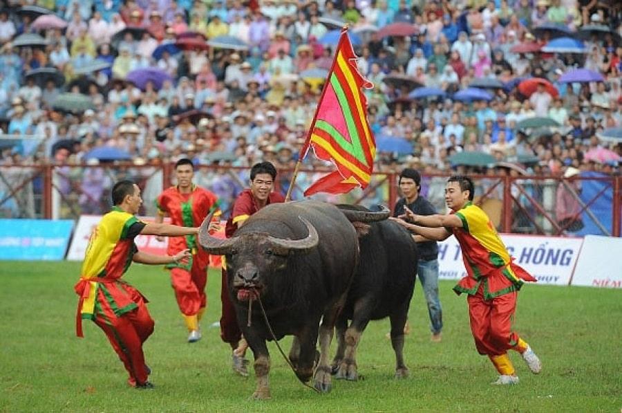 Lễ hội chọi trâu truyền thống đặc sắc của Đồ Sơn - Hải Phòng