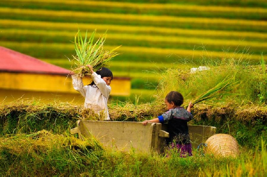 Những em bé người Hmong đã làm việc từ khi còn rất nhỏ