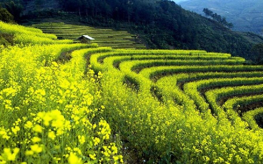 Hoa cải vàng được trồng trên các chân ruộng bậc thang
