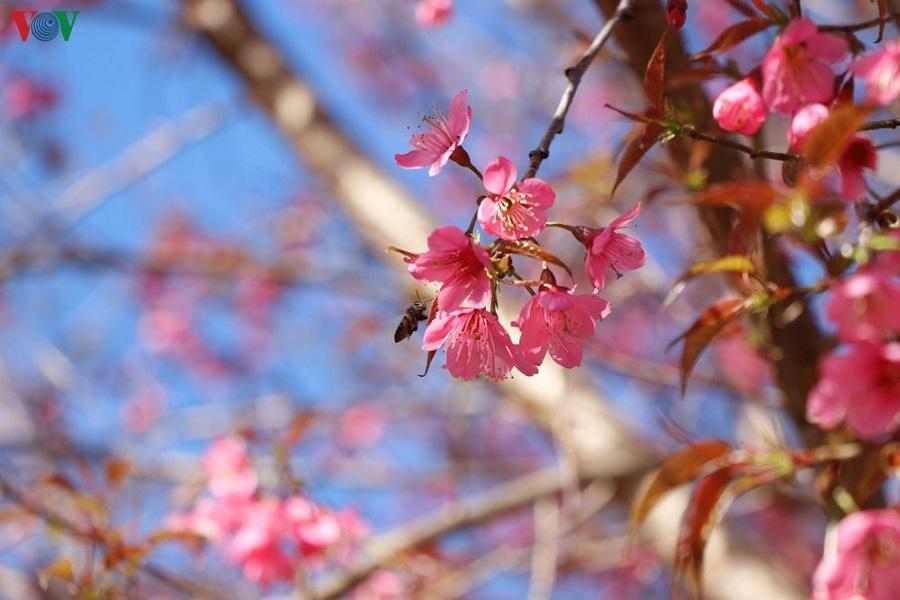Hoa đào rừng nỏ rộ khắp bản làng