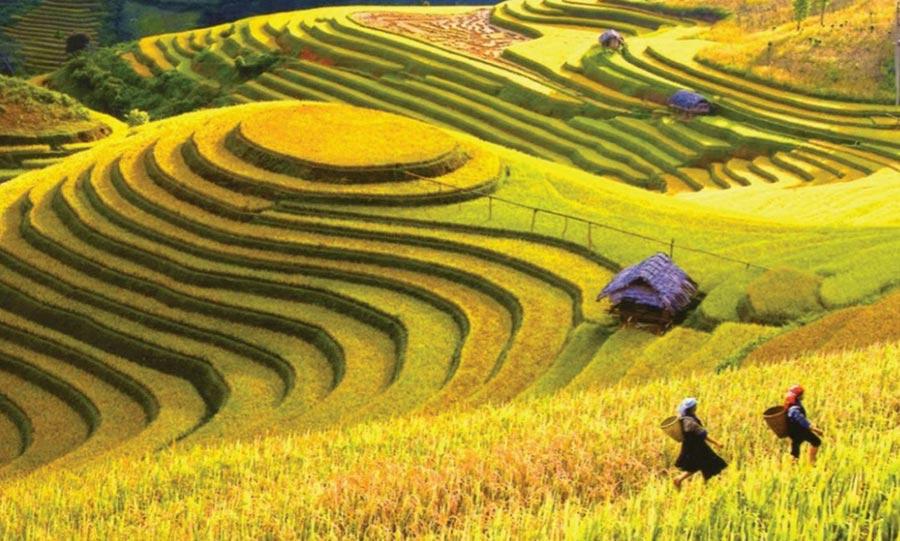 Cánh đồng ruộng bậc thang được bao phủ màu lúa chín vàng tươi
