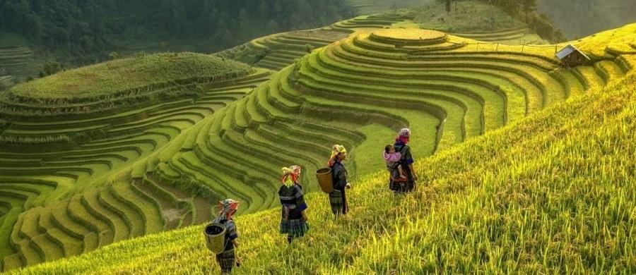 người dân Mù Cang Chải đeo gùi ra đồng mùa lúa chín