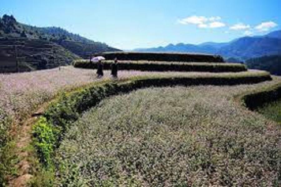 Có những mùa, những ngọn đồi mâm xôi được phủ kín bởi hoa tam giác mạch