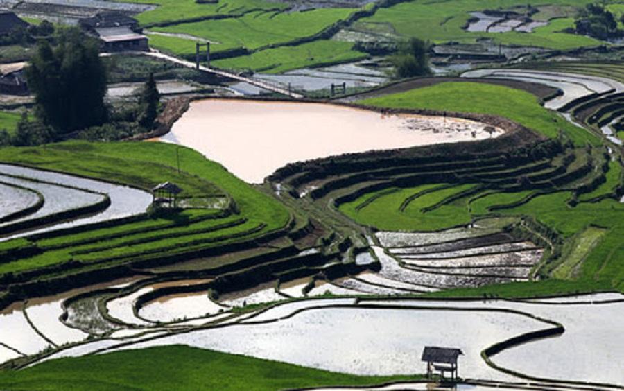 Đồng lúa Tú Lệ vào mùa nước đổ