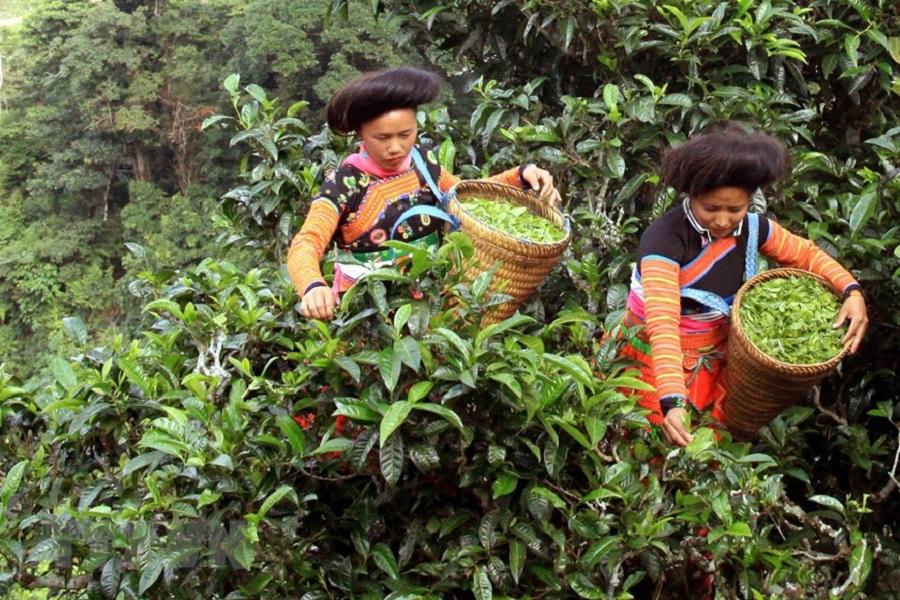 Chè cổ thụ Tà Xùa được vinh danh là cây di sản