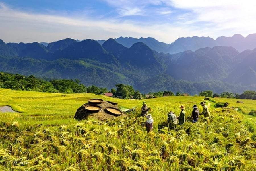 Pù Luông bước vào mùa thu hoạch lúa